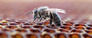 Abeille dans une ruche en train d'oeuvrer